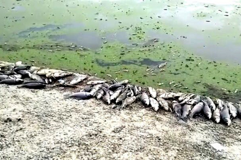 23 Lakh Fish Die Due to Pharma Pollutants in Telangana Lake